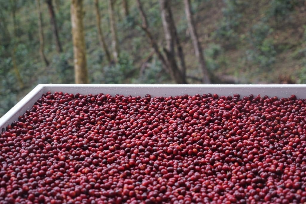 Cherries_In_The_Forest
